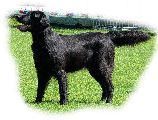 coated_retriever